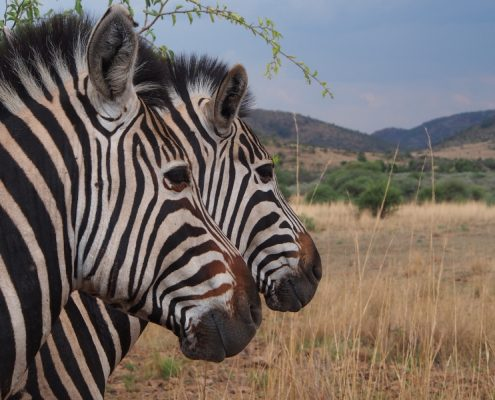Safari Park - Rugby Tours To Johannesburg, Irish Rugby Tours