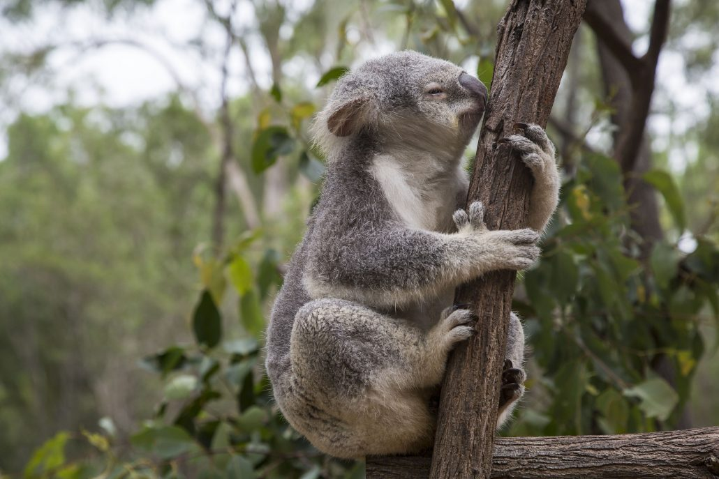 Koala Bear - Wildlife in Brisbane, Australia - Places to See in 2021 With Irish Rugby Tours