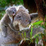 koala Bear and Cub
